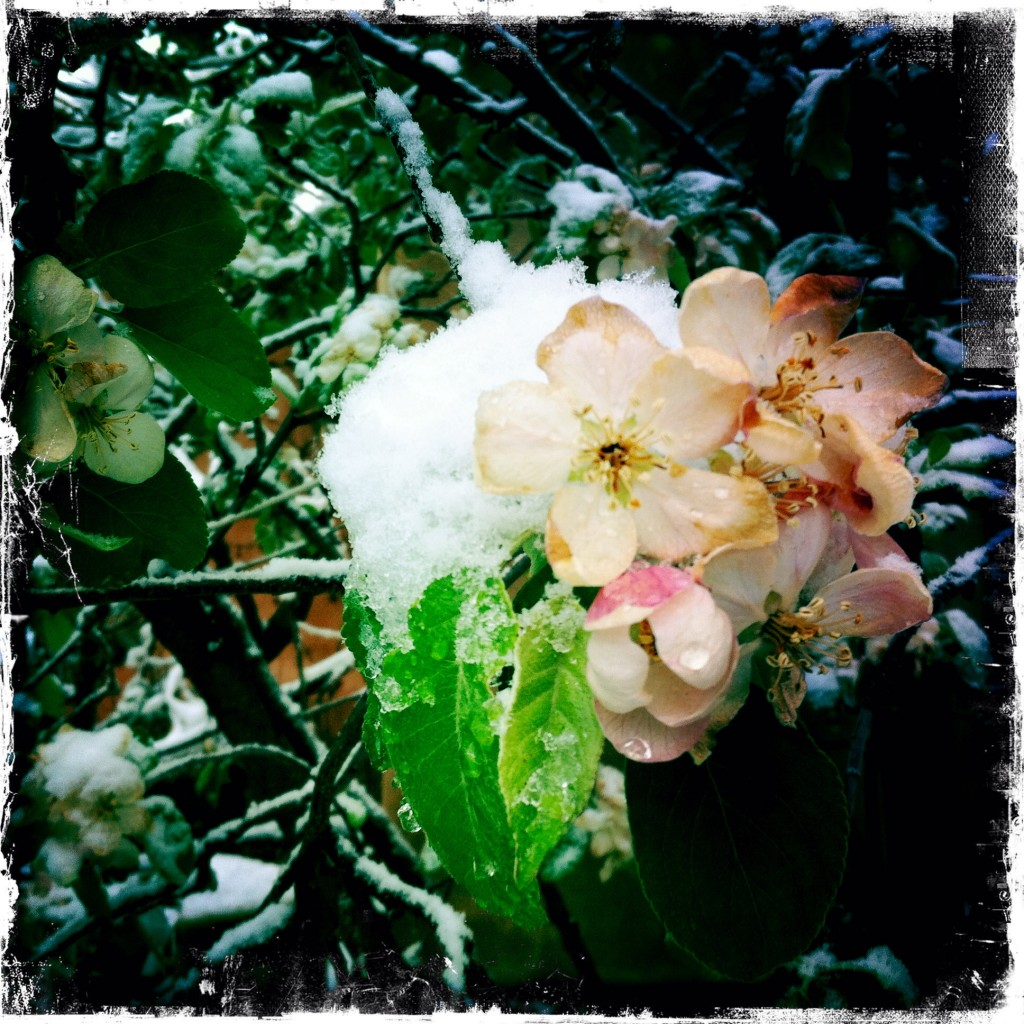 Apple Blossoms, April 18, 2015