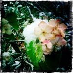 Apple Blossoms, April 18, 2015
